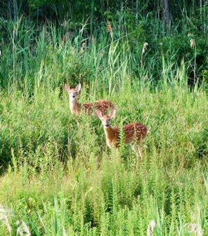 2 x Bambi